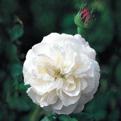 Boule de Neige - David Austin Roses