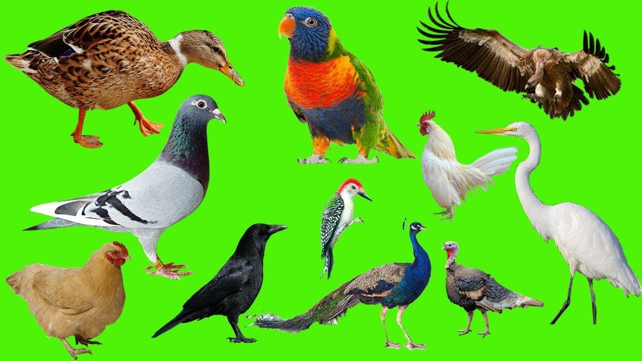 Lear Animals I Birds Names And Sounds In English For Kids Real And Cartoon Pet Birds Animals Animal Sounds