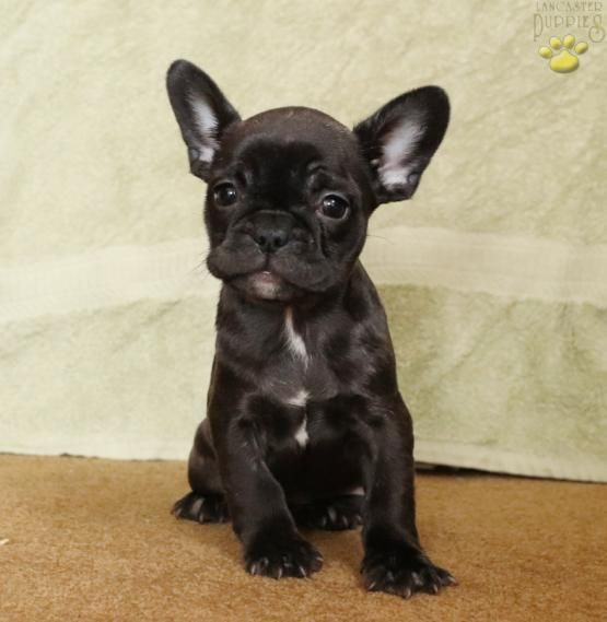 Felicia French Bulldog Puppy for Sale in Lancaster, PA