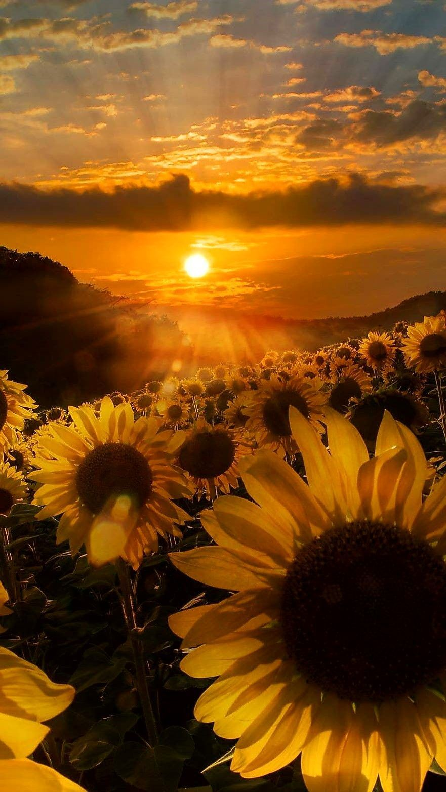 Sunflower wallpaper iphone android background