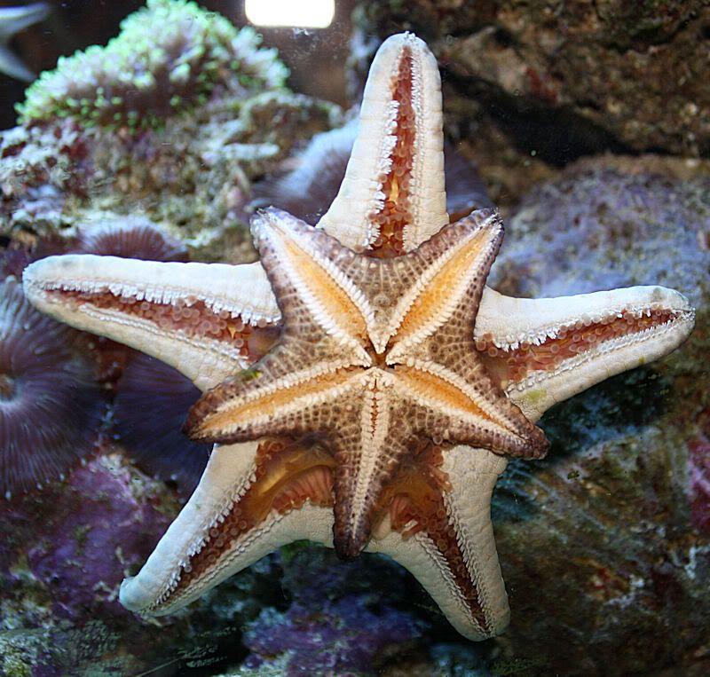 Starfish Anatomy Worksheet | Star cannibalism | estrellita ...