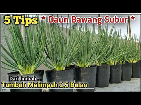 Resep Daun Bawang Tumbuh Subur Youtube Kesuburan Menanam Sayuran Berkebun Hidroponik