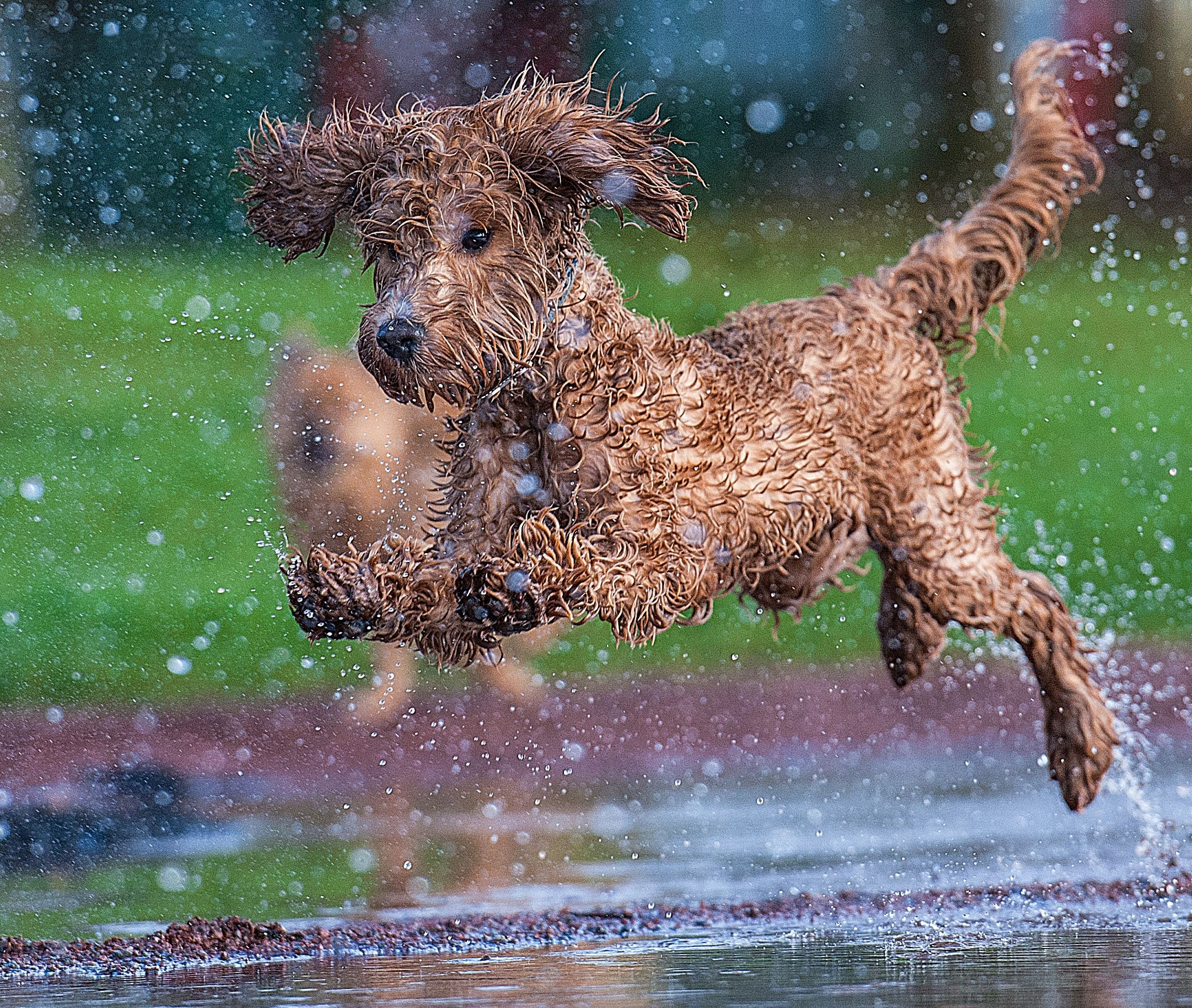 Splash A Wet Rainy Day Out With The Dogs A Labradoodle Is A