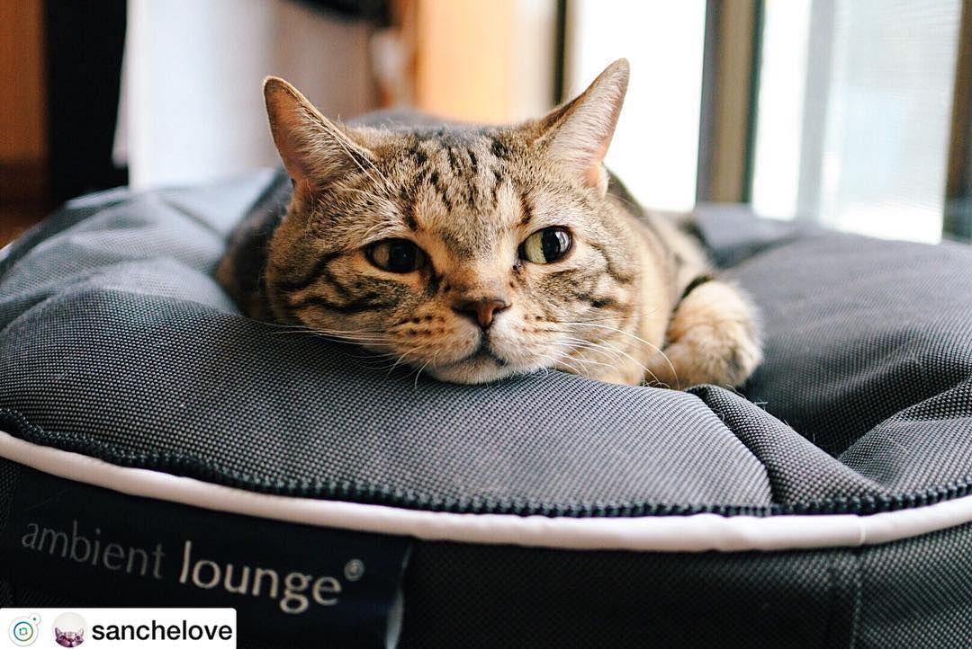 人気のペットベッドであなたの大切なペットに叶える幸せな生活 Sanchelove 様の猫ちゃんより Ambientloungejp アンビエントラウンジ Ambientlounge ペット ペットベッド 猫 猫好きな人と繋がりたい 猫カフェ 猫好き ペットベッド ペット ペットショップ