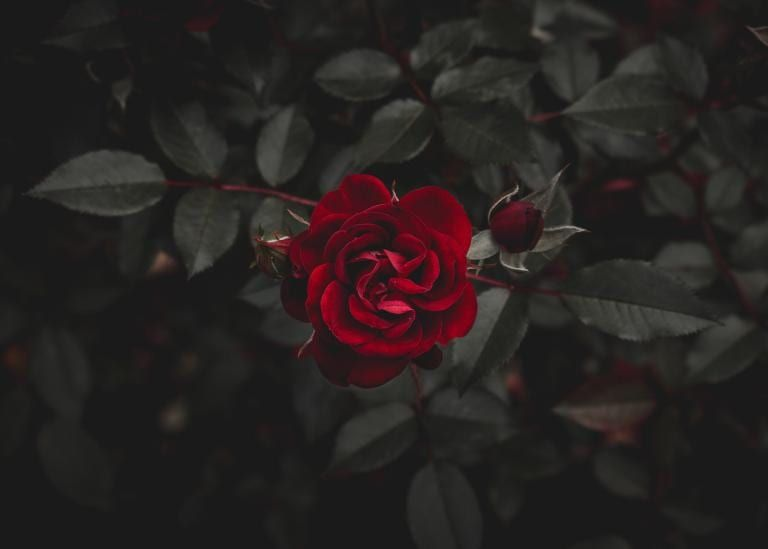 Weakness At Its Most Wondrous Strength Rose Wallpaper Dark Red Roses Red Roses Wallpaper