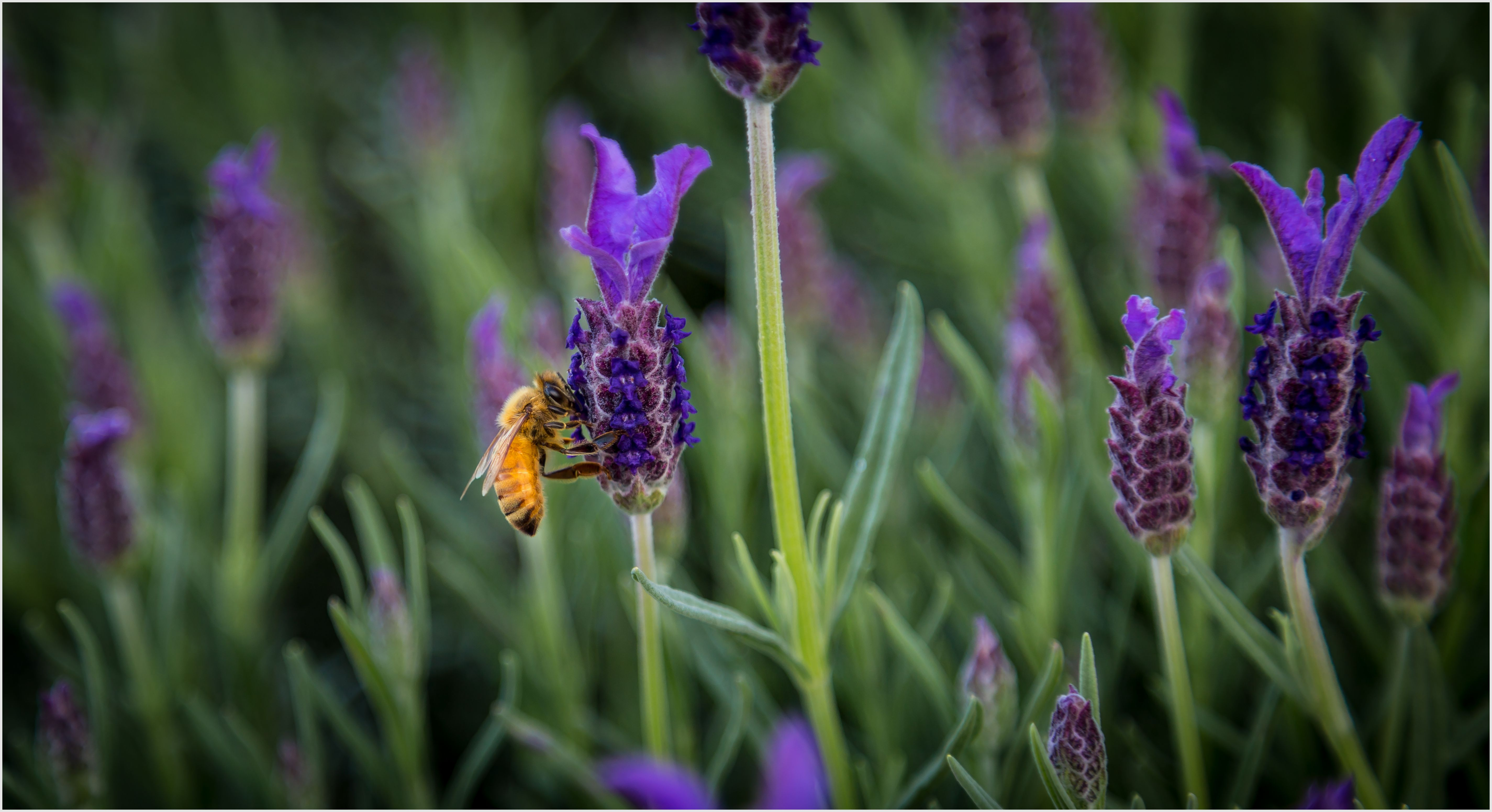 A single bee getting busy with some lavender. Purchase a print, cards, or a full size digital file of this image at www.kirkvogel.com