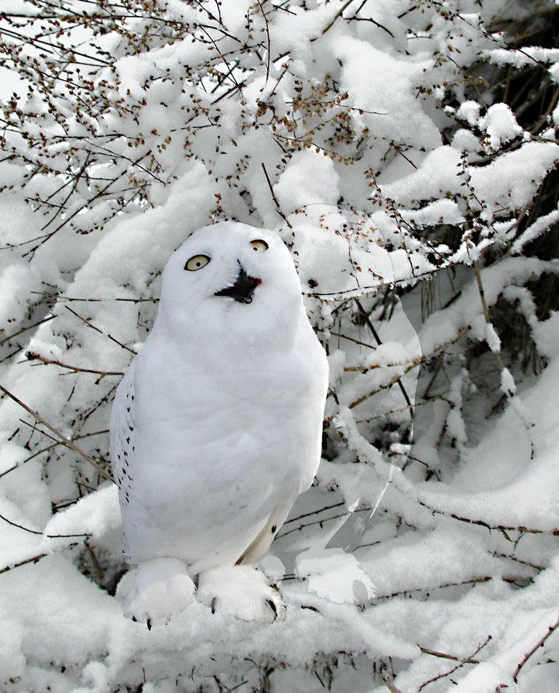 Snow Owl by  bram kristel