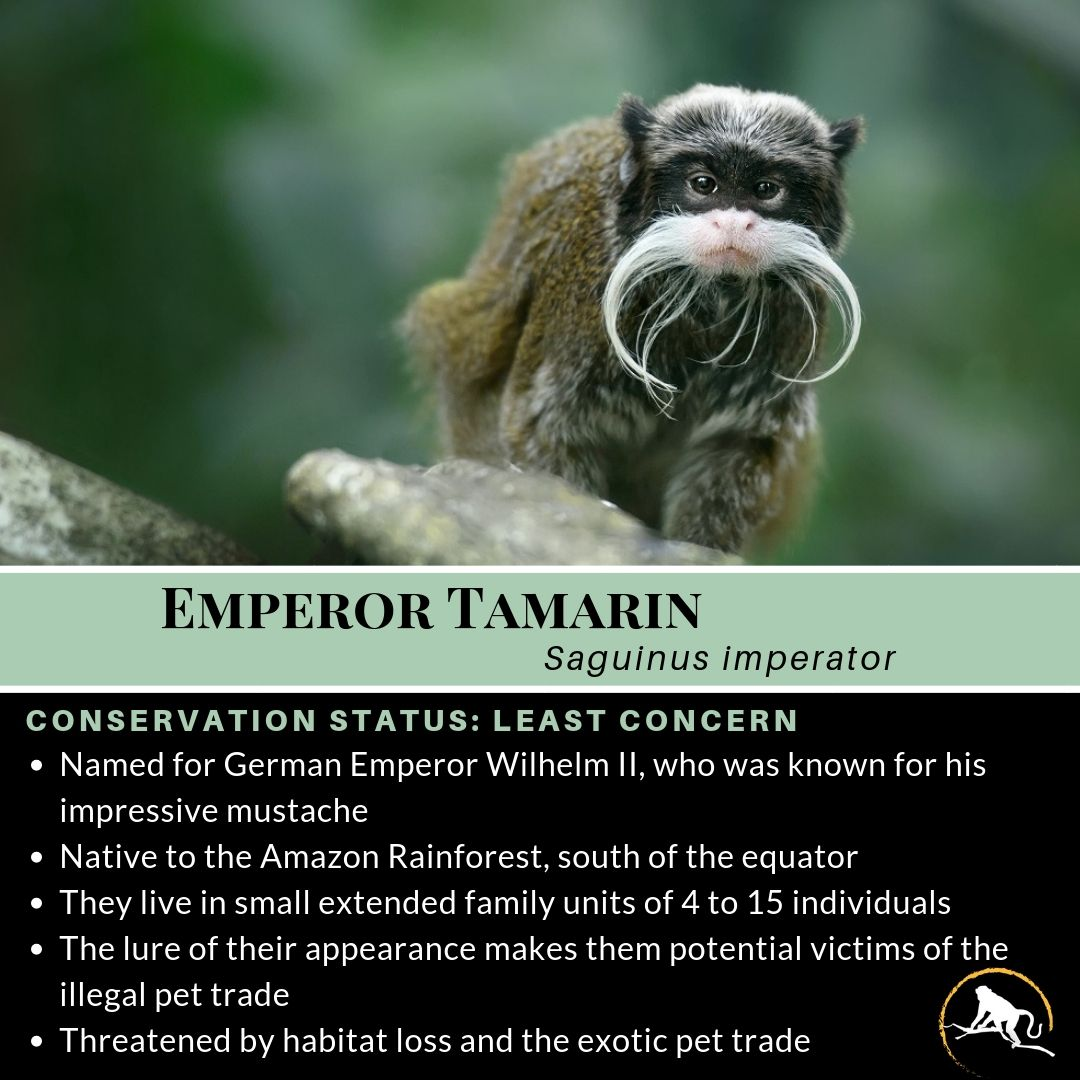 Emperor Tamarin In 2020 Emperor Tamarin Emperor Amazon Rainforest