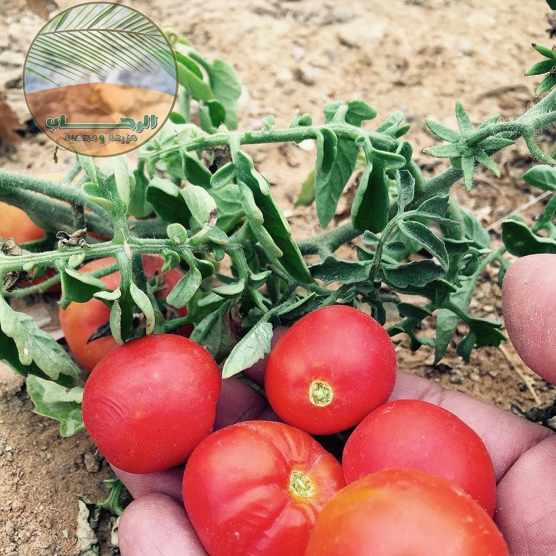 Alrehab C الرحــــــــــاب On Instagram زراعة الطماطم Tomato Cherry Tomato Tomatoes Vertica Vegetable Farming Healthy Garden Vertical Farming