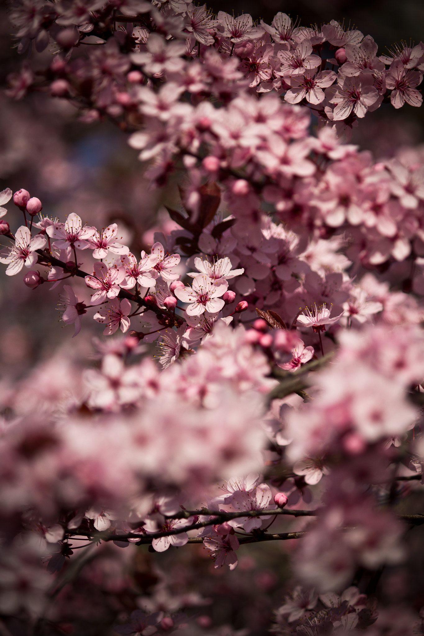 Cherry Blossom Cherry Blossom Tree Soft Bokeh Dark Colored Scene Cherry Blossom Wallpaper Cherry Blossom Japan Blossoms Art