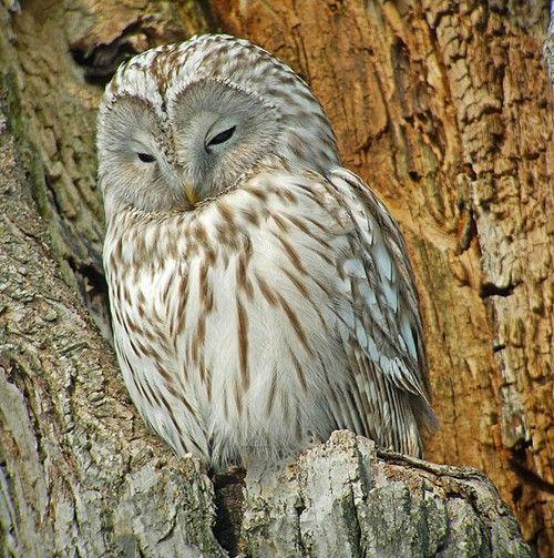 Ural Owl, Japan