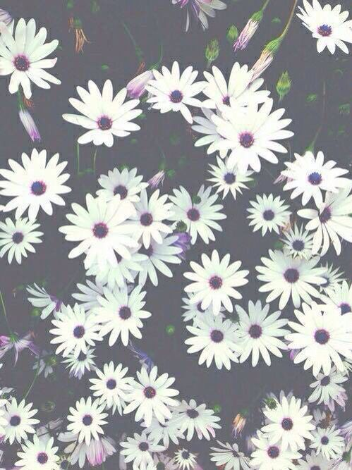 White and black daisies
