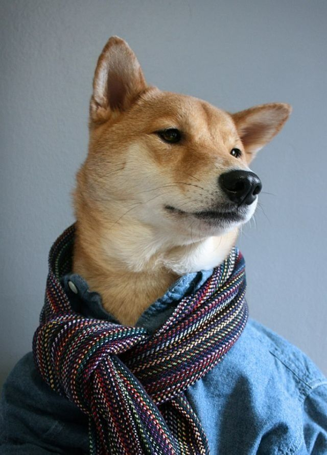 Menswear Dog is a 3 year old shiba inu living in NYC with ...