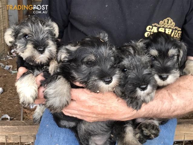 Miniature Schnauzer Pups For Sale In Seaton Vic Miniature