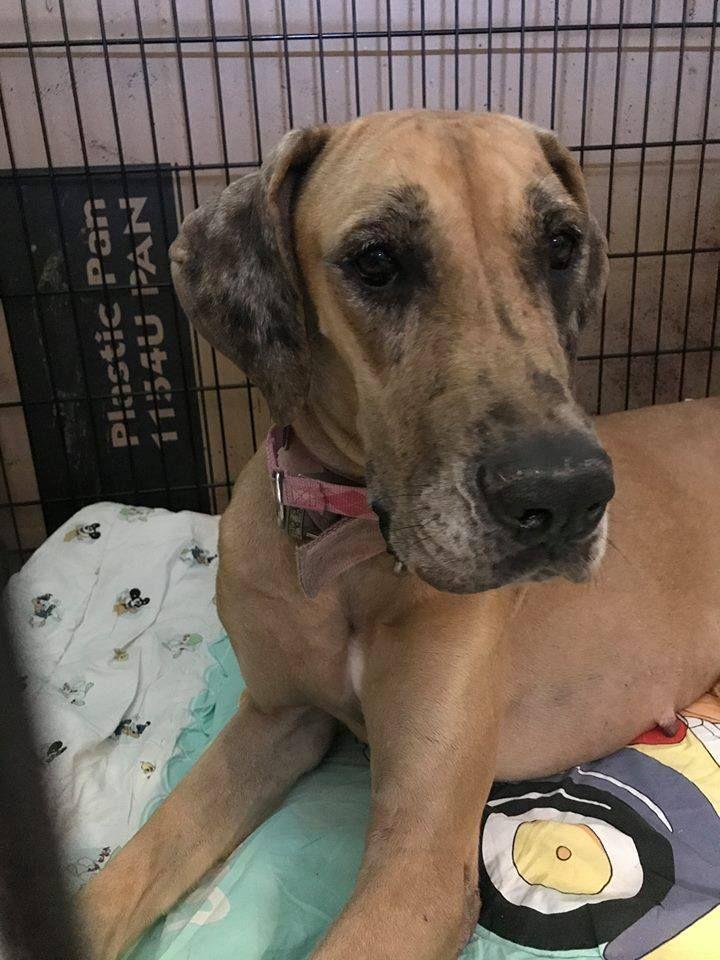 Great Dane dog for Adoption in Huntersville, NC. ADN