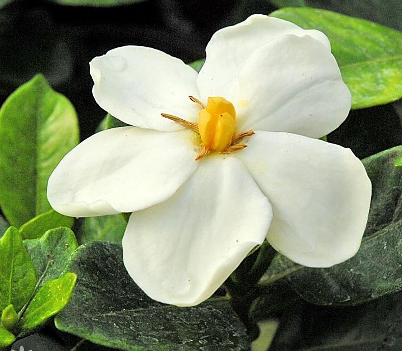 Gardenia Jasminoides Kleim S Hardy Cape Jasmine Orchidees