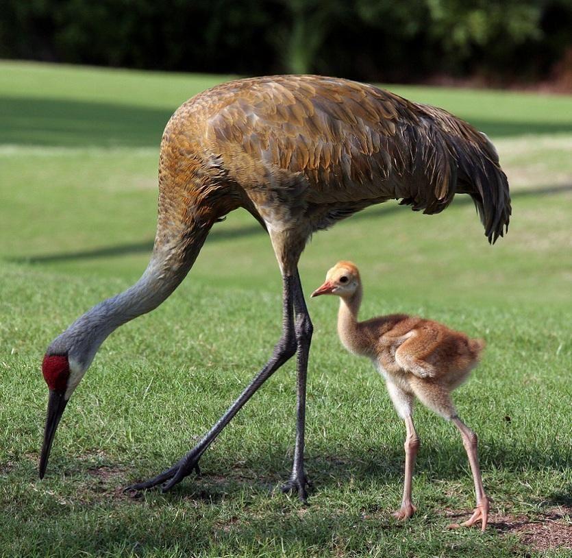 Baby sandhill crane!