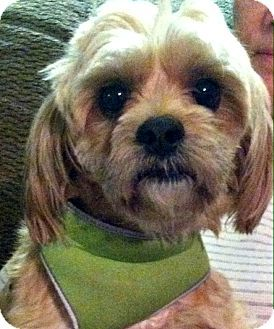 Suffolk Va Shih Tzu Meet Ruffus Va A Dog For Adoption Http