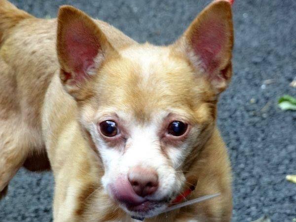 Safe 6 11 13 Manhattan Center Howie A0967376 Male Tan Chihuahua Sh
