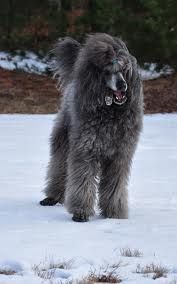 fantasic pic of a grey standard Poodle..simply enjoying the snow..nice snow doggie