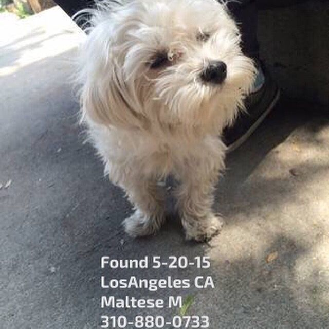 Founddog 5 20 15 Losangeles Ca Maltese M 310 880 0733 Lost And Found Paws In La Xwqrh 5035232542 Comm Craigslist Org Losing A Dog Find Pets Dogs