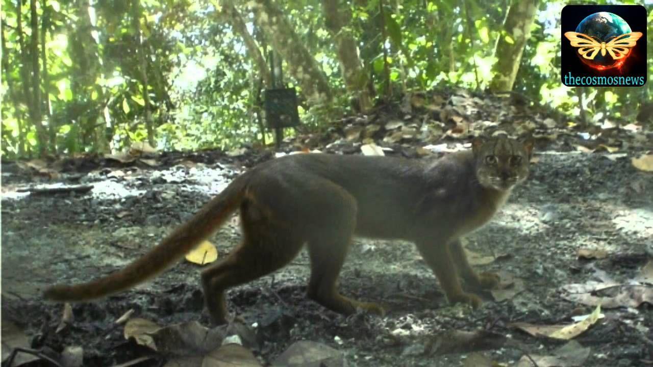 Ultrarare cat species captured on camera in Borneo Cat