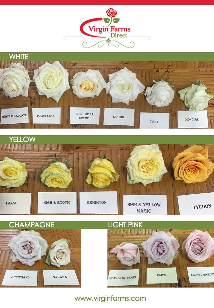 Rose Variety Comparison Chart White Yellow Champagne And Light Pink Virgin Farms First Class Flowers By The Rose Varieties Flower Names Types Of Roses
