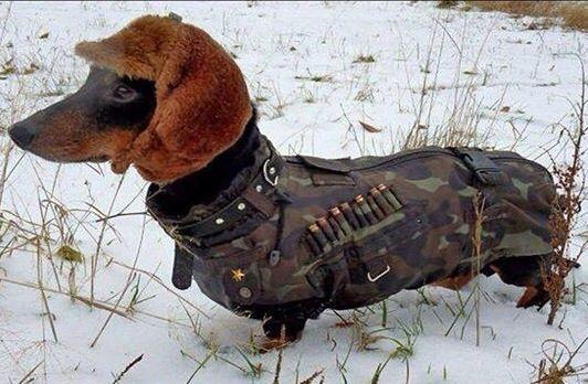 Soviet dachshund