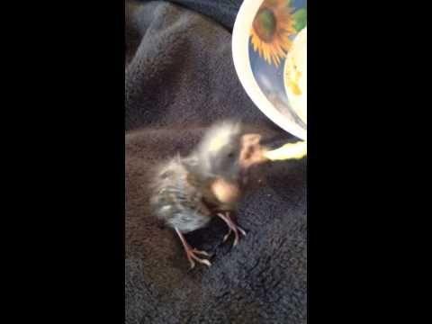 Baby Canary Bird Feeding, - YouTube | Canary birds, Baby ...