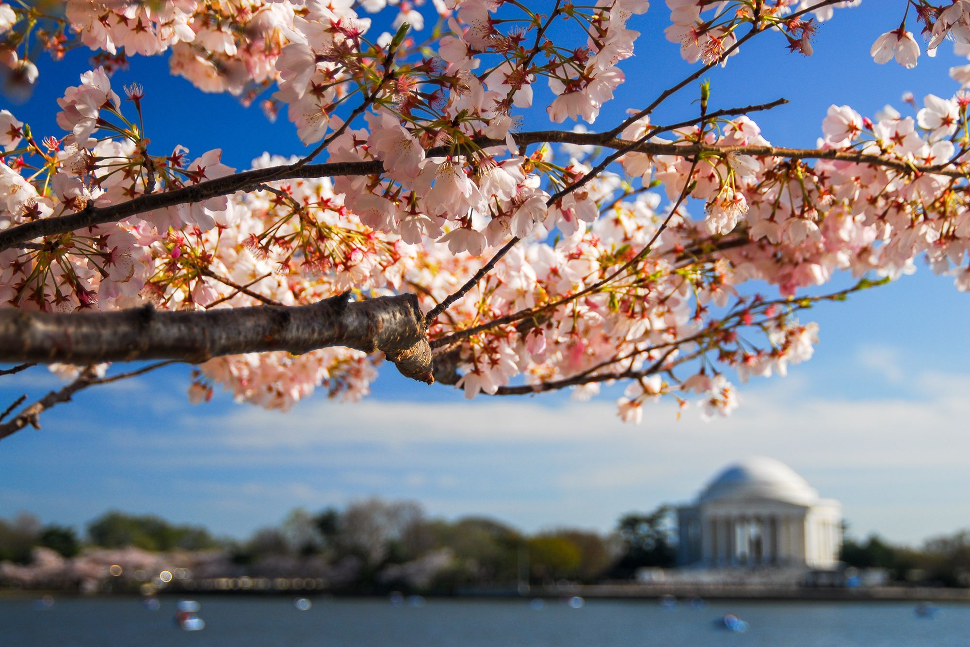 Washington D C S Cherry Blossom Bloom To Peak In April This Year National Parks Cherry Blossom Yoshino Cherry Tree