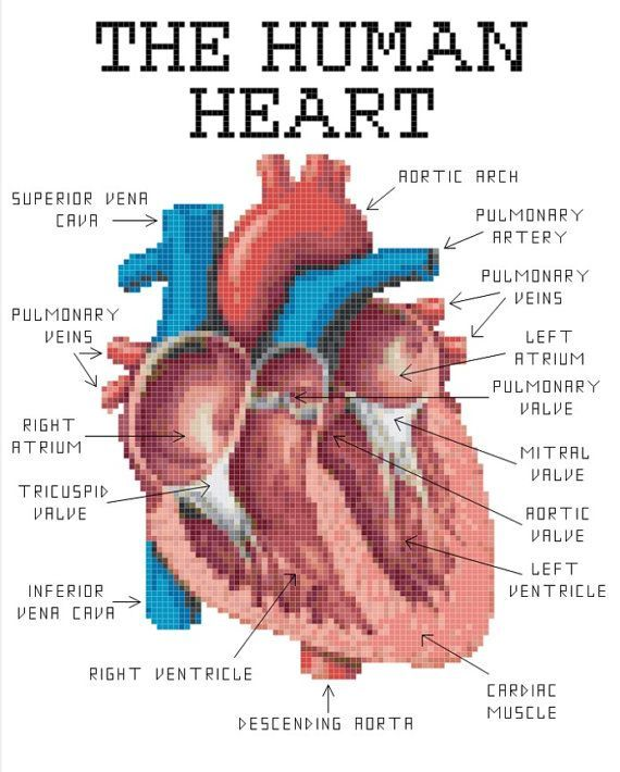 Human heart anatomy cross stitch pattern von knerdlyknits
