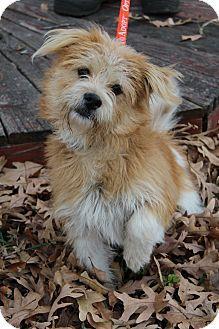 Wytheville Va Cairn Terrier Norfolk Terrier Mix Meet Jolie A
