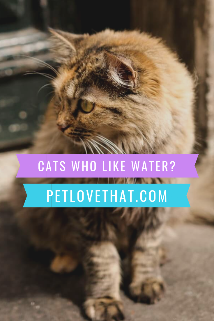 Cats Who Like Water Cats Cat Questions Cat Breeds