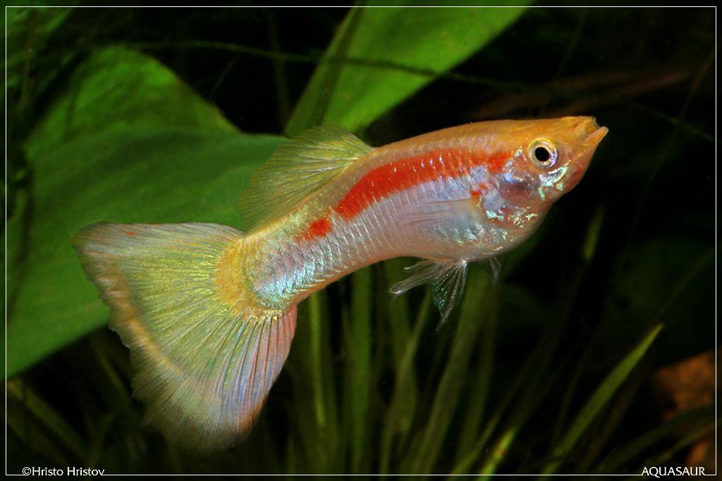 Yellow Laser Redline Micariff Lebiste Peixes Guppy Sobre Peixes