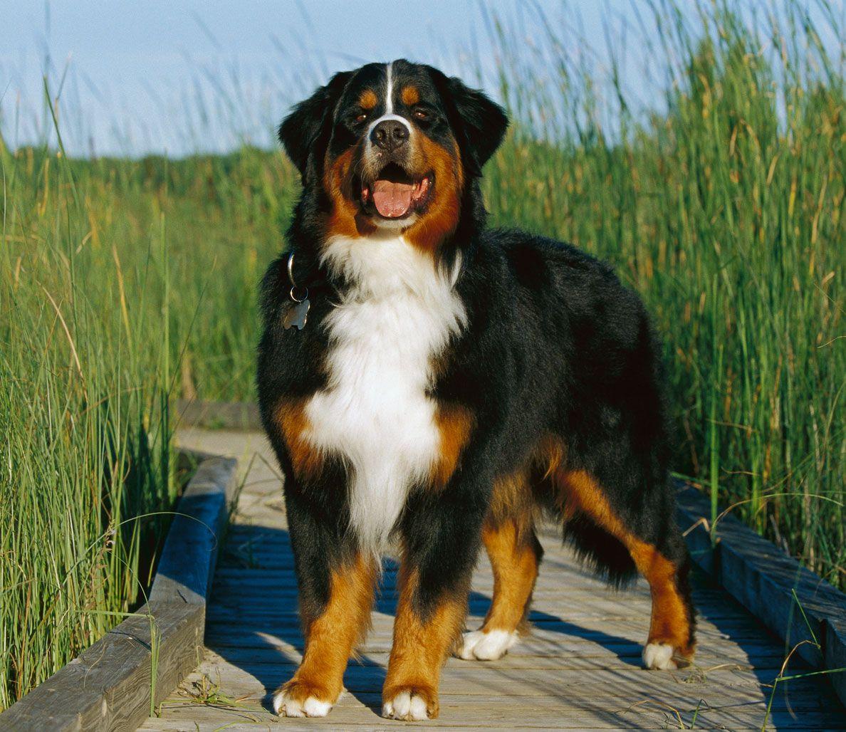 The 10 Spunkiest Dog Breeds - Bernese Mountain Dog
