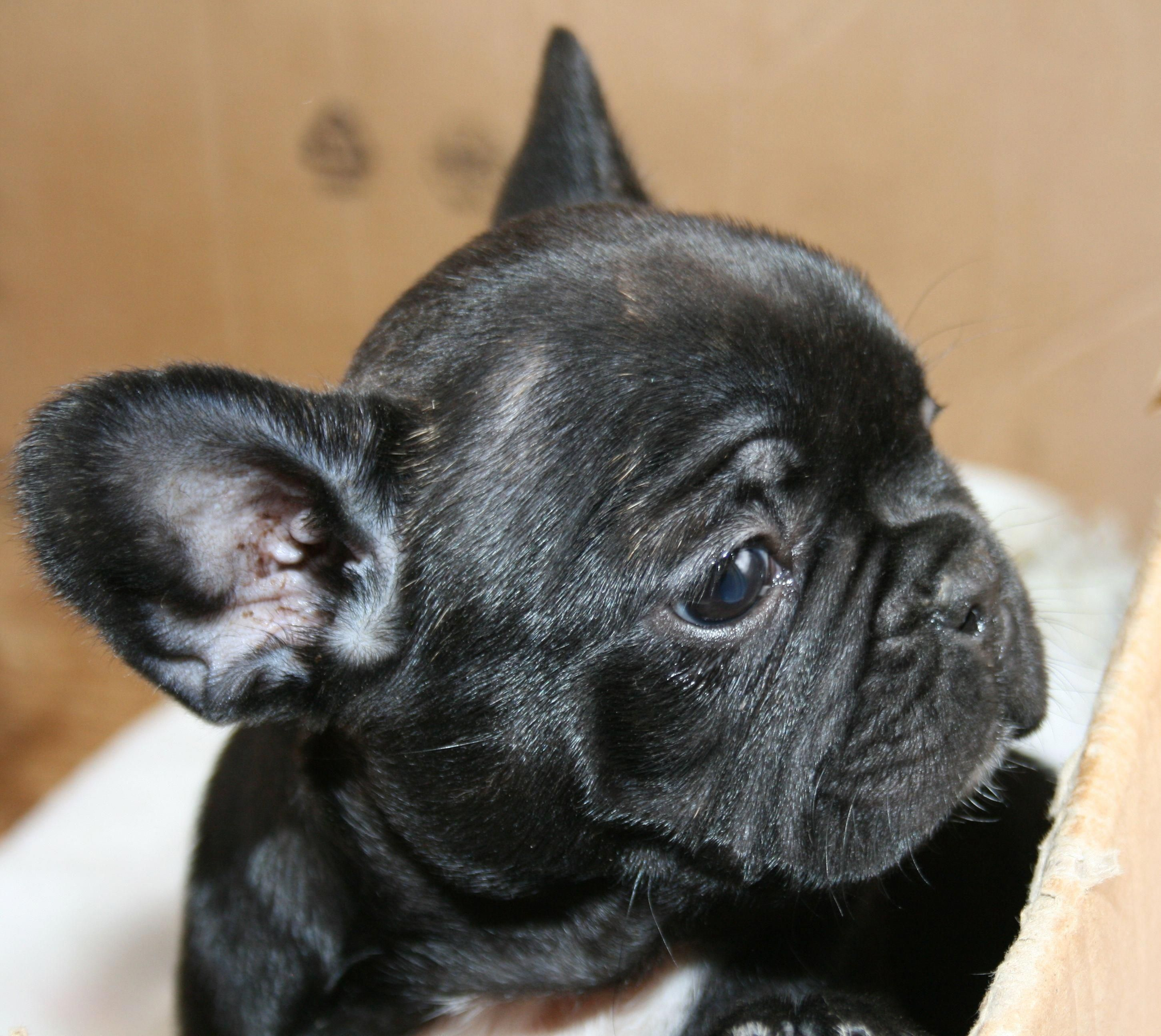 Facts On The Bright Frenchie Dog Temperament