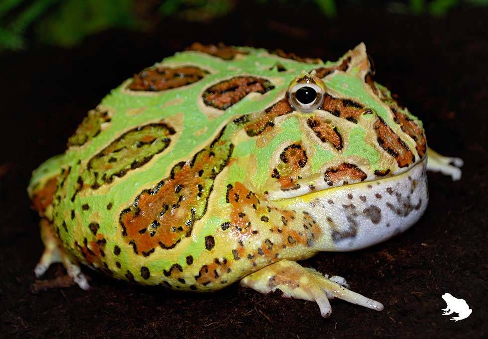 Mint Green Pacman Frog | Pacman frog, Frog, Frog and toad