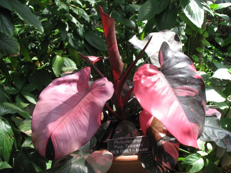 Philodendron pink princess wild splashes of pink and