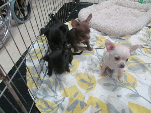 Chihuahua Puppy For Sale In Tomball Tx Adn 46205 On Puppyfinder Com Gender Female Age 6 Weeks Old Chihuahua Puppies For Sale Chihuahua Puppies Chihuahua
