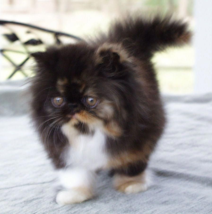 Cats Pause Chcats Catsuit Fancy Cats Kittens And Puppies Persian Kittens