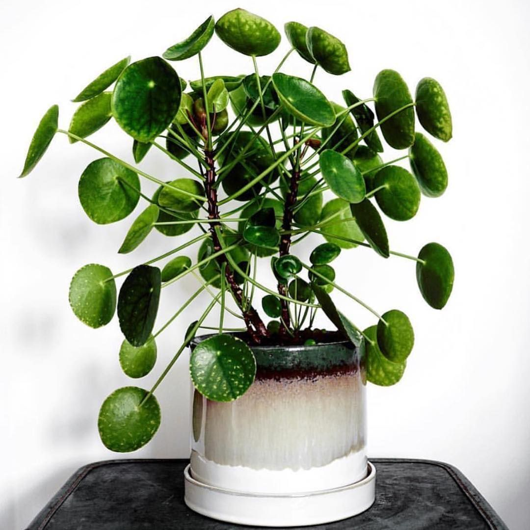 Pileapeperomioides Botaniclog Déco Maison Plante