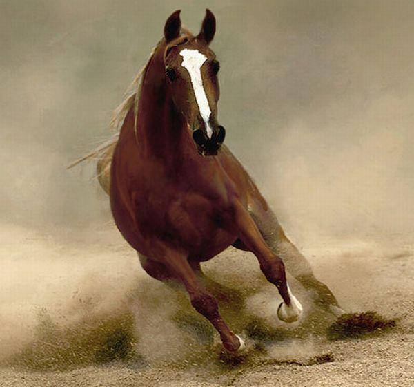 horses arabian - Google Search   Horses   Pinterest   Caballos y Alegria