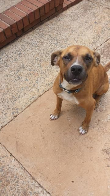 Adopt Zeus on Rescue dogs, American bulldog mix, Dogs