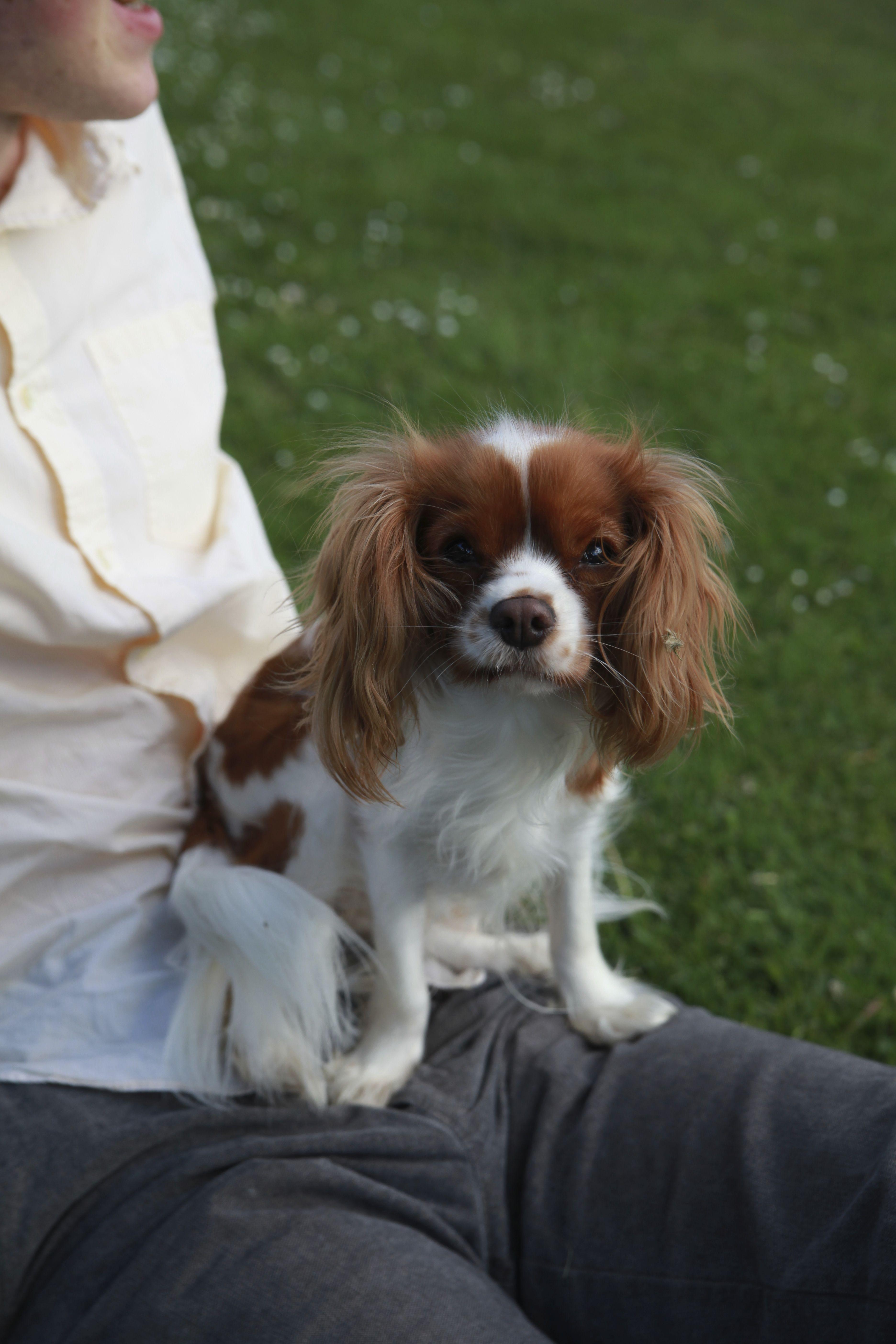 Meet Bella The Miniature King Charles Cavalier Spaniel She Is