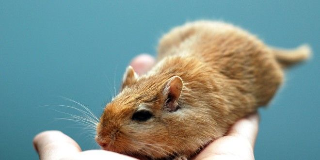 How To Handle A Gerbil The Pets Hq ねずみ