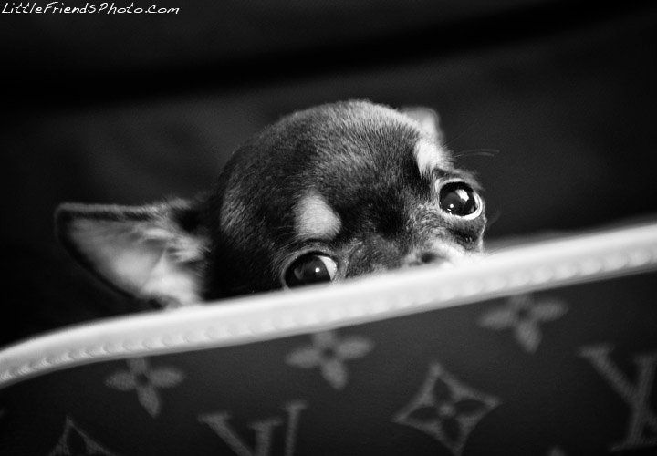 Chihuahua and Louis Vuitton, my two loves..!