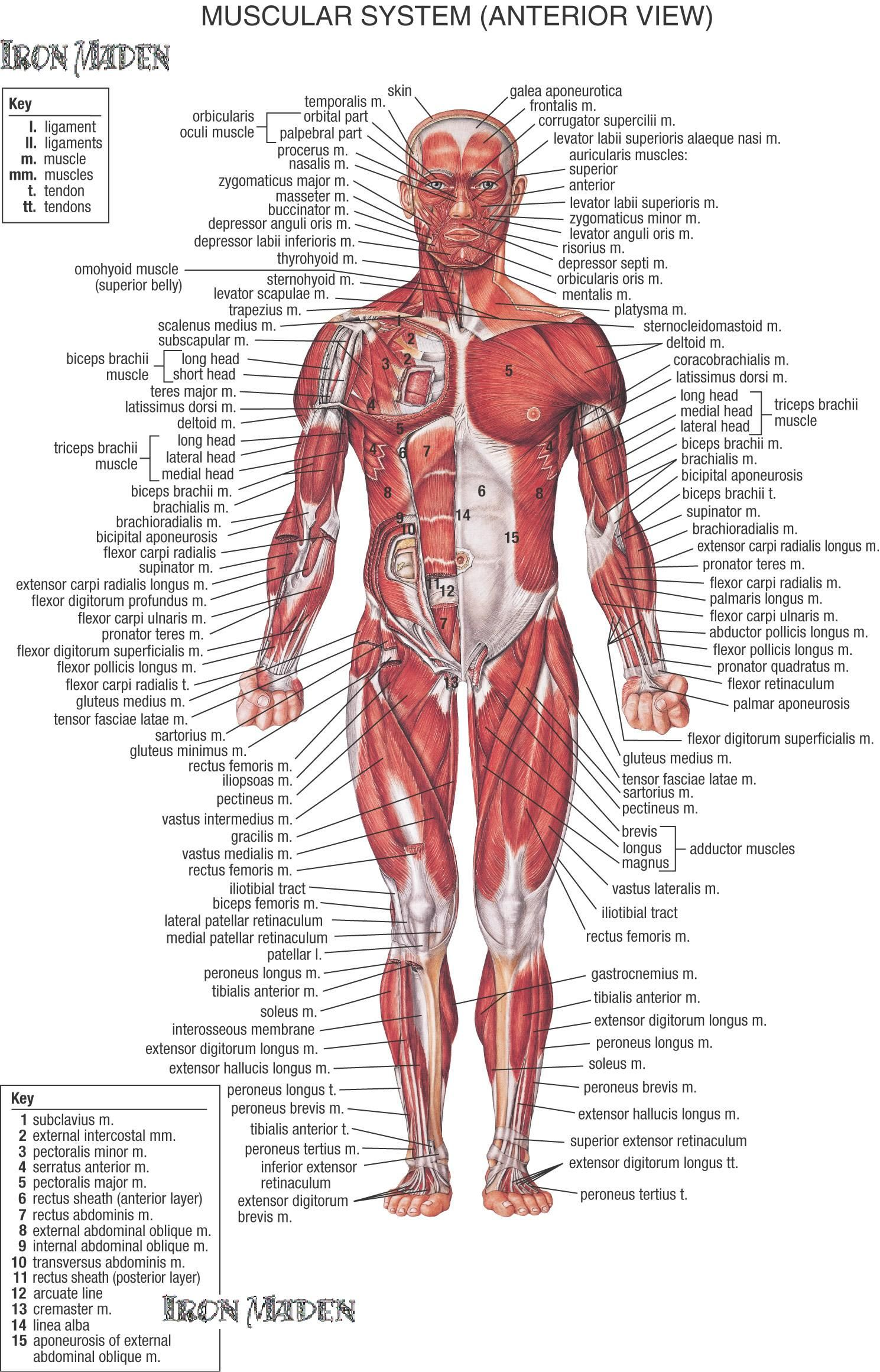 muscular system MEDICAL EDUCATIONAL POSTER 24X36 scientific BODY ...