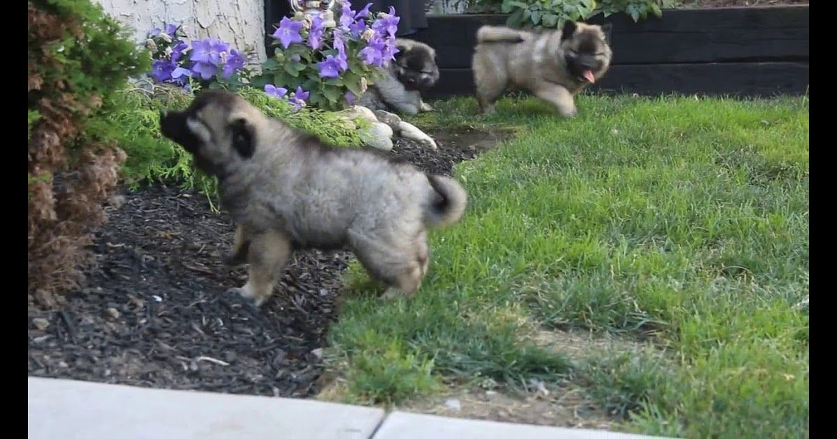 Keeshond Puppies For Sale Near Me Keeshond puppy