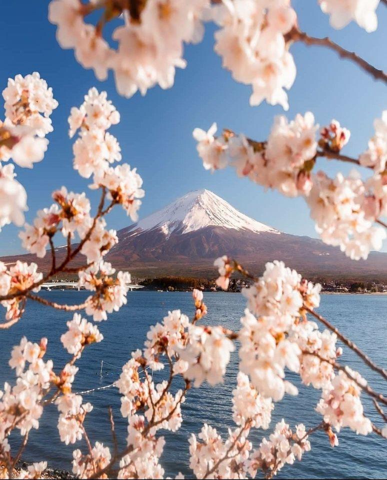 Cherry Blossom Season In Japan Reddit Cherry Blossom Japan Cherry Blossom Season Aesthetic Japan