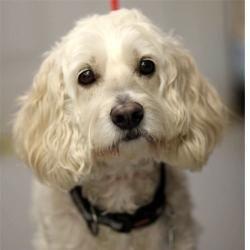 Adopt Wrigley On Cocker Spaniel Dog Dogs Cocker Spaniel